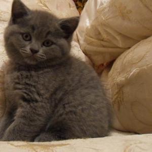 Продаются британские котята редких окрасов