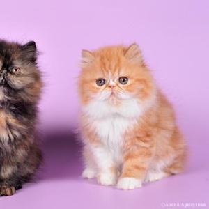 Продаются персидские котята - экстремалы