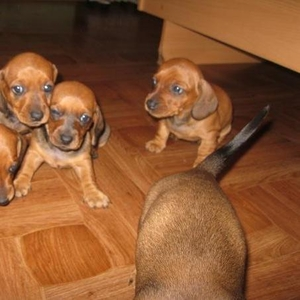 Продаются щенки таксы 2 мальчика и 1 девочка