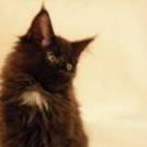 Продаются котята породы мейн-кун из питомника.