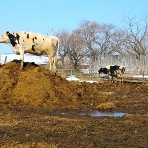Навоз с доставкой,  выполняем доставку навоза коровьего и конского навоза.
